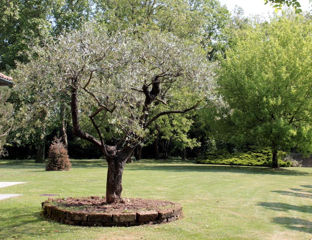 Taille olivier Frejus var